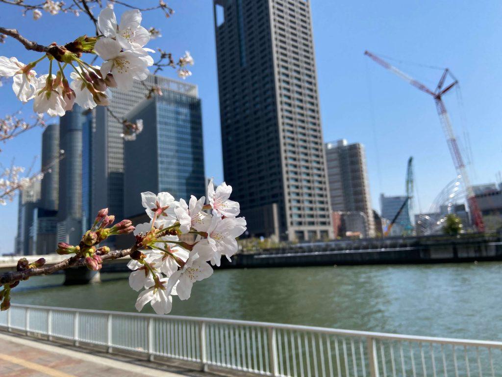 cherry blossoms osaka japan lady ashtar 2020 spring tour